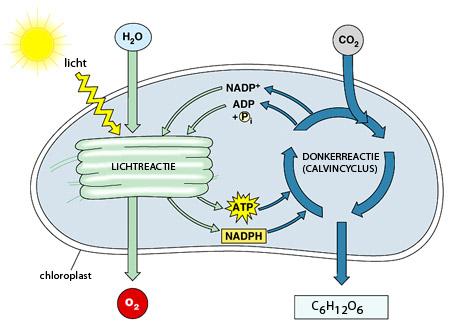 Wonderbaar Hoe werkt fotosynthese? VY-53